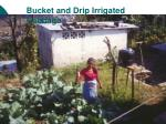 bucket and drip irrigated cabbage