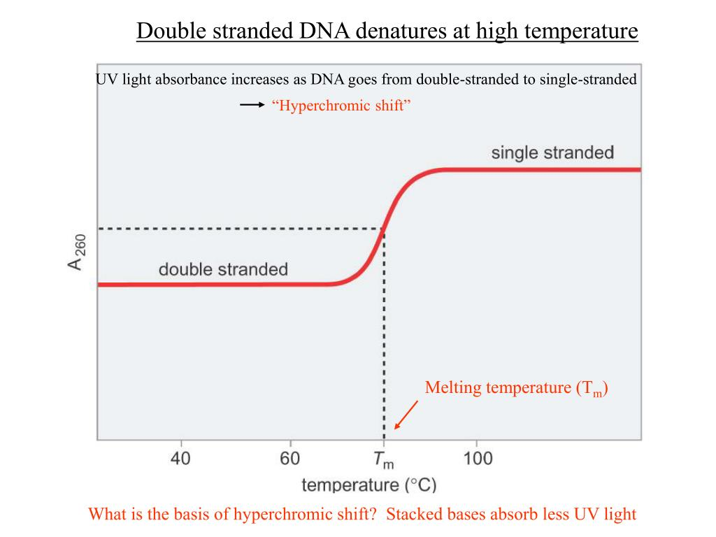 Double stranded DNA denatures at high temperature