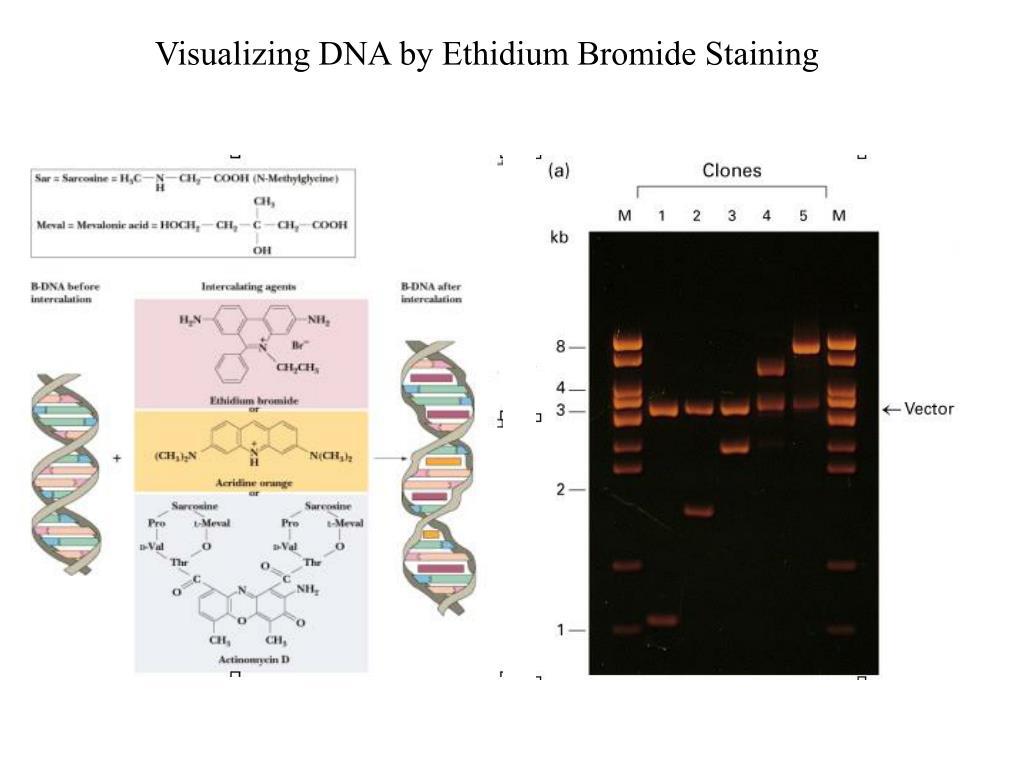 Visualizing DNA by Ethidium Bromide Staining