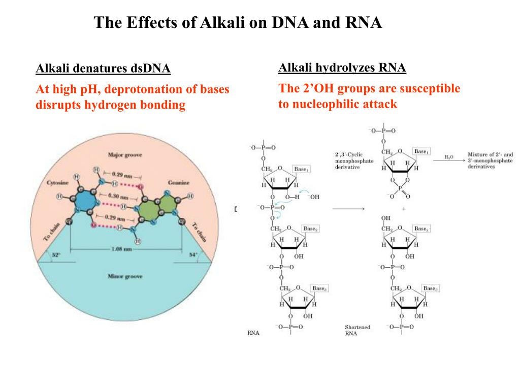 The Effects of Alkali on DNA and RNA