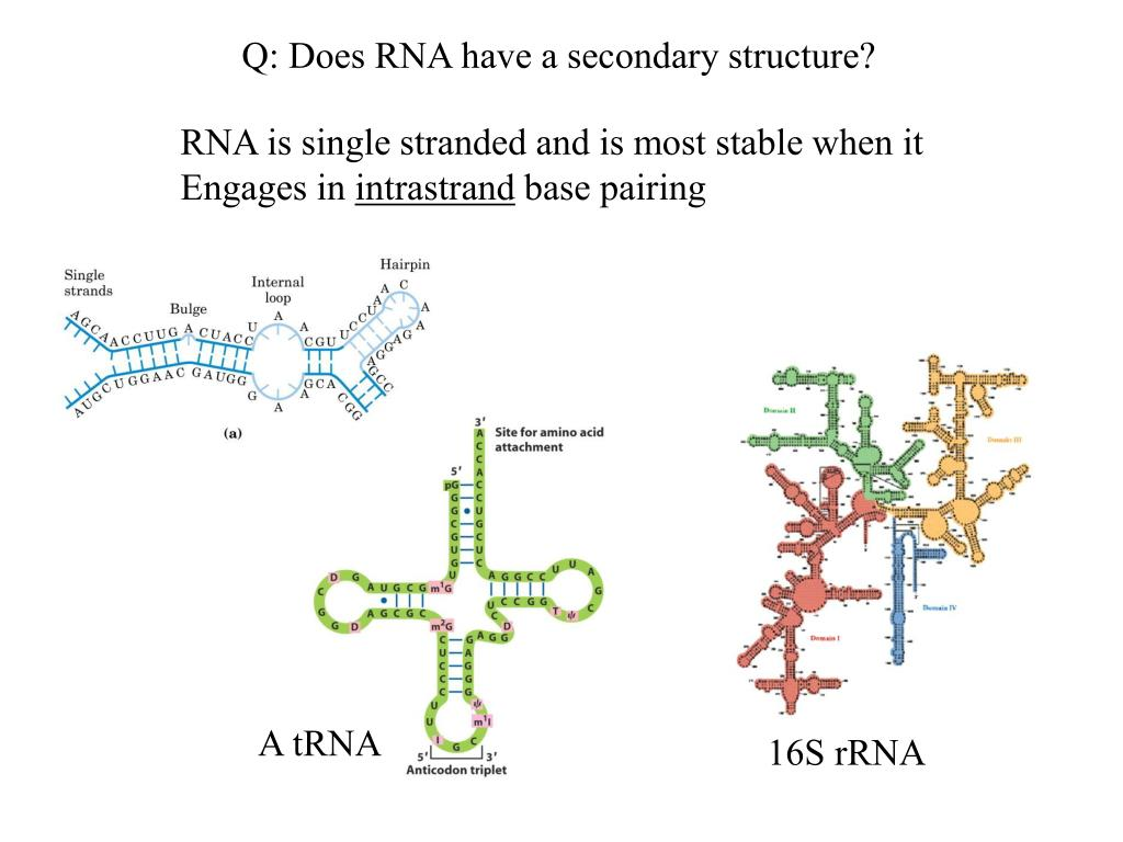 Q: Does RNA have a secondary structure?