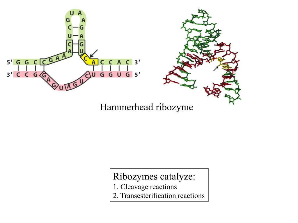 Hammerhead ribozyme