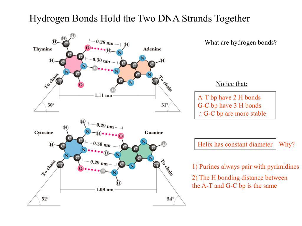 Hydrogen Bonds Hold the Two DNA Strands Together