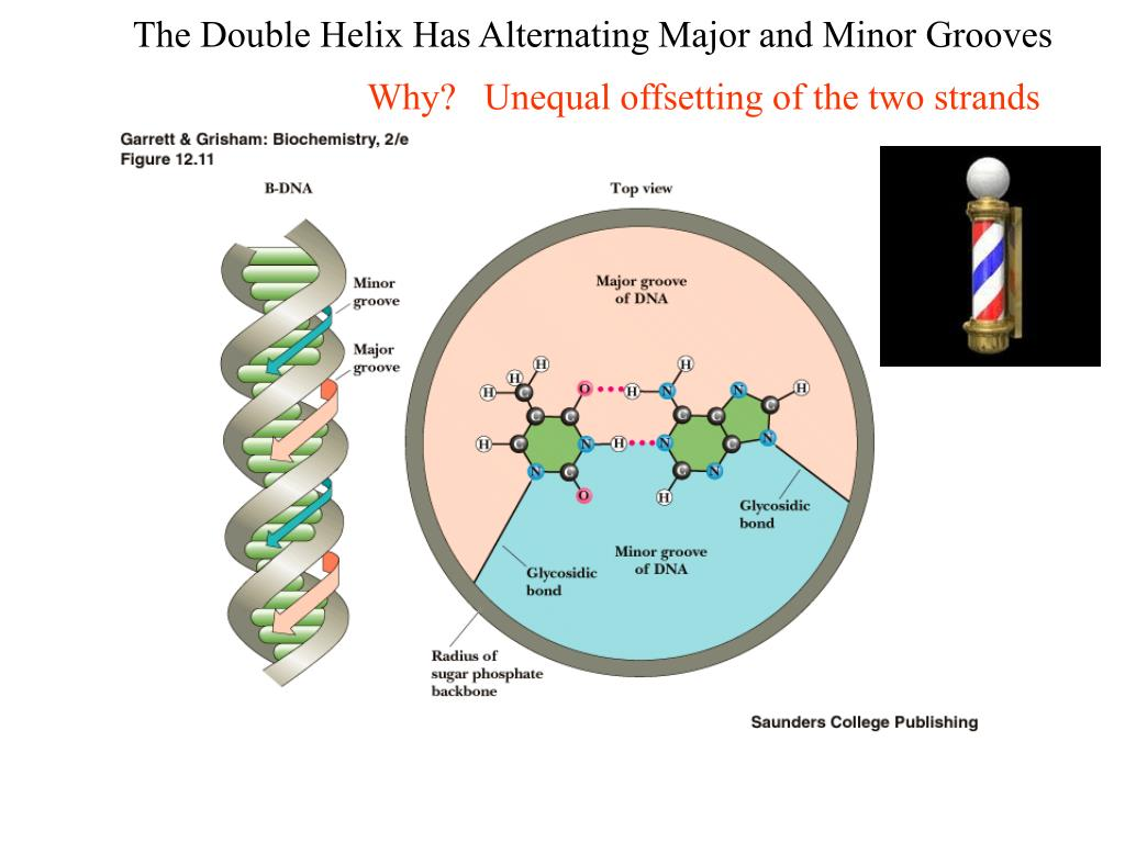 The Double Helix Has Alternating Major and Minor Grooves