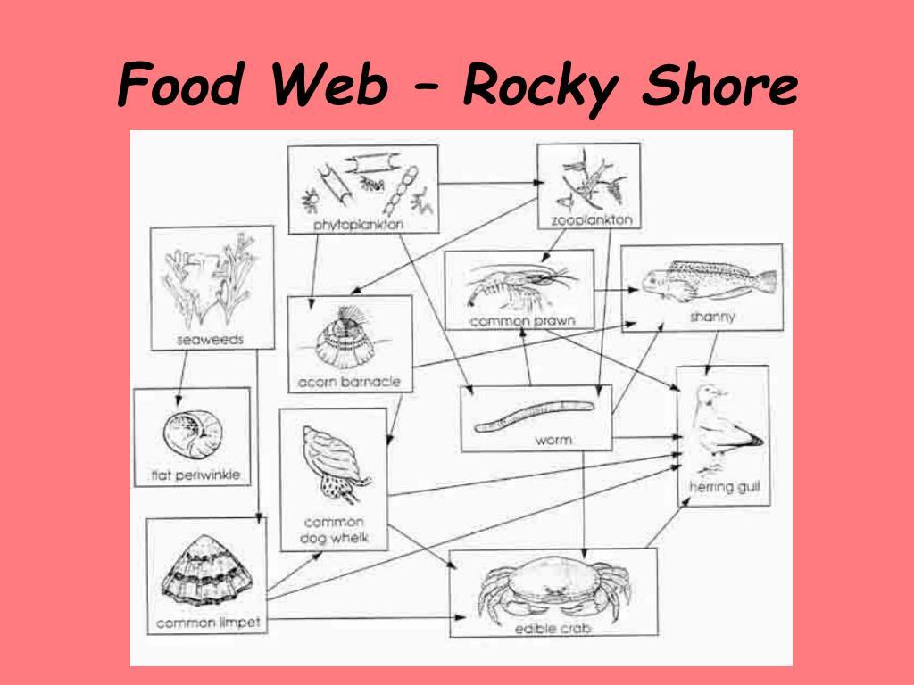 Food Web – Rocky Shore