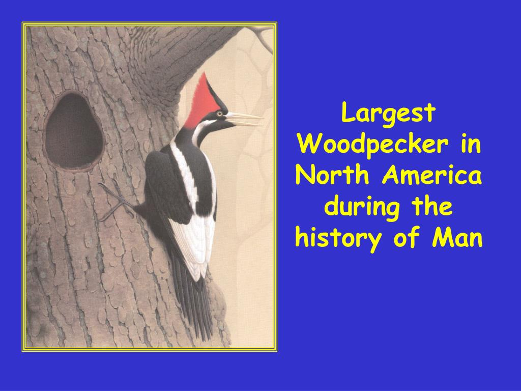 Largest Woodpecker in North America during the history of Man