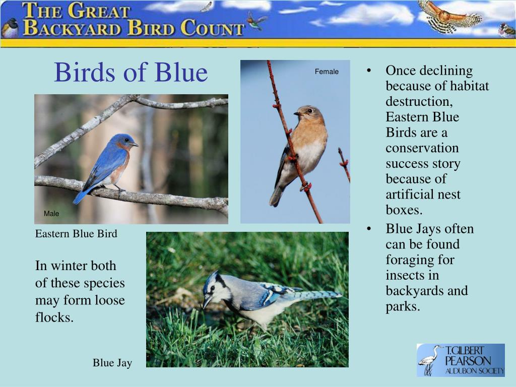 Birds of Blue