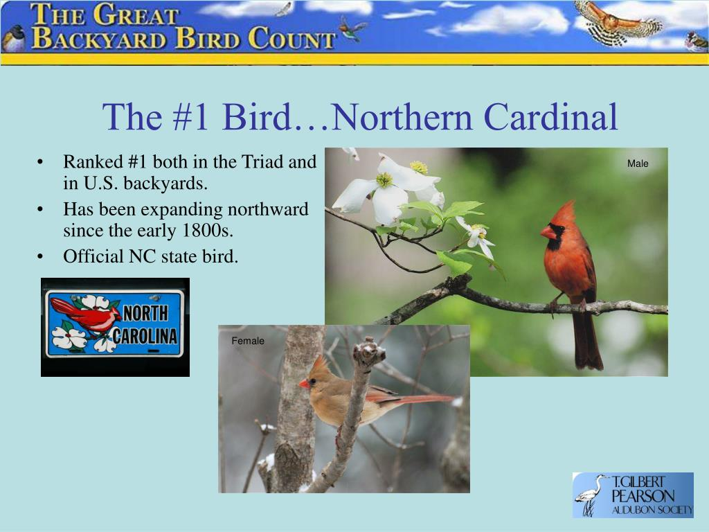 The #1 Bird…Northern Cardinal