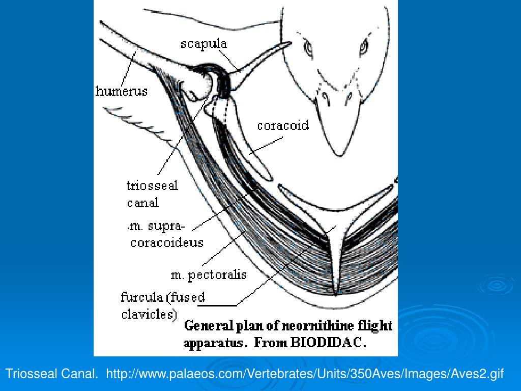 Triosseal Canal.  http://www.palaeos.com/Vertebrates/Units/350Aves/Images/Aves2.gif