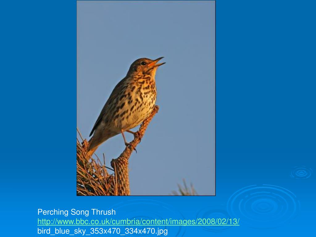 Perching Song Thrush