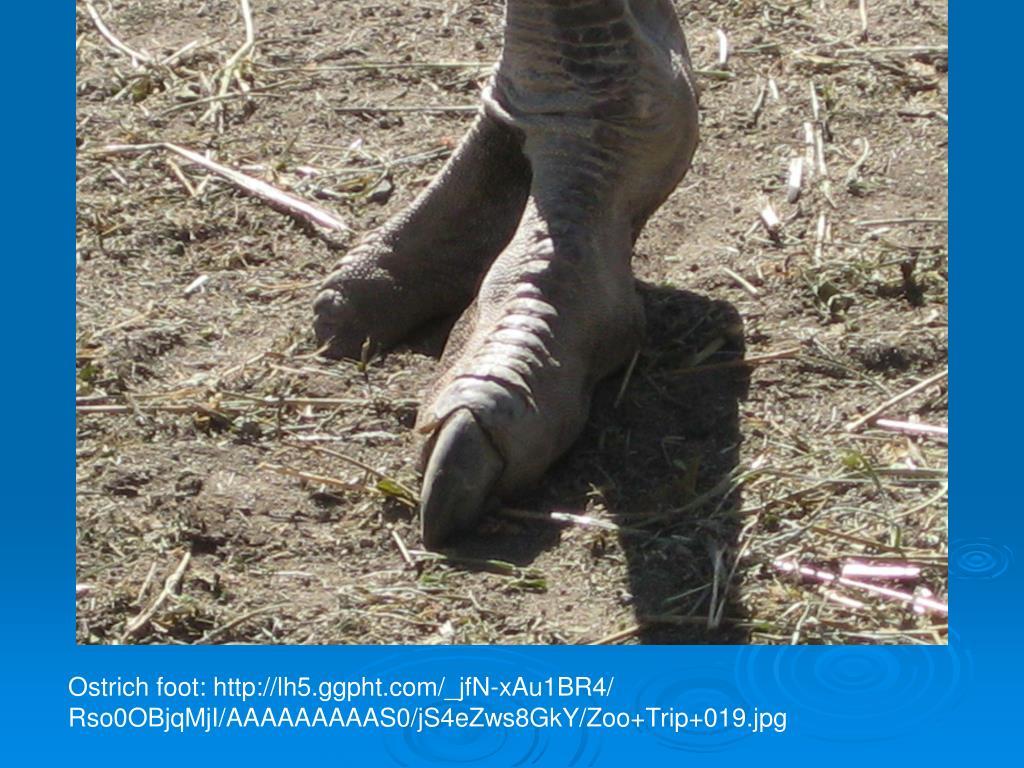 Ostrich foot: http://lh5.ggpht.com/_jfN-xAu1BR4/