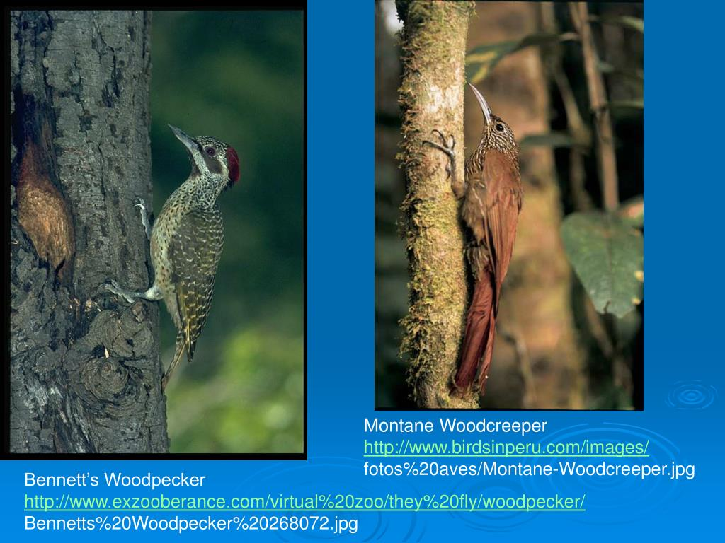 Montane Woodcreeper