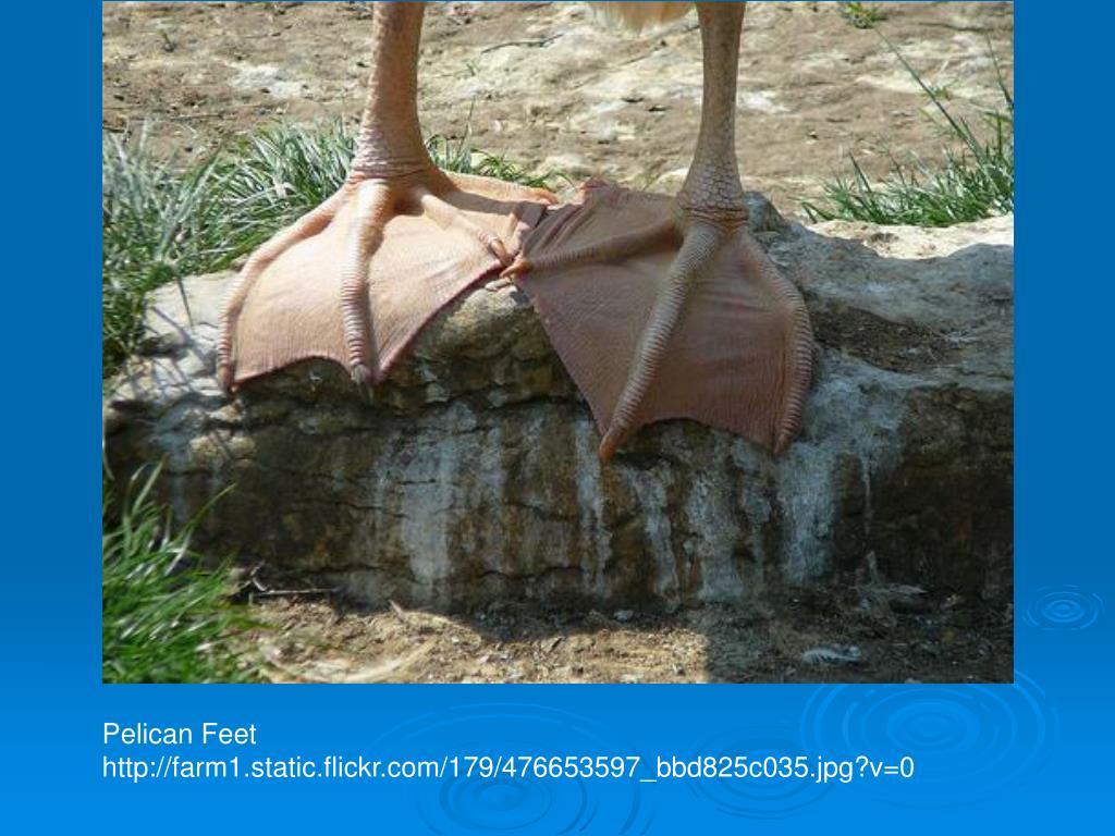 Pelican Feet