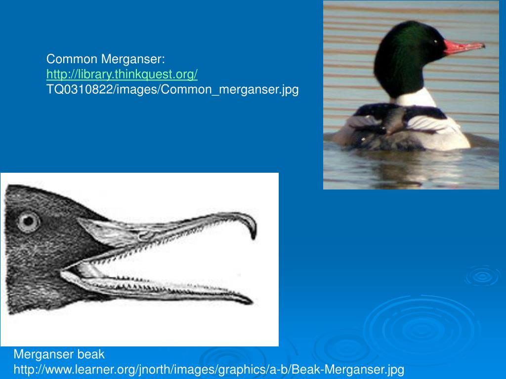 Common Merganser: