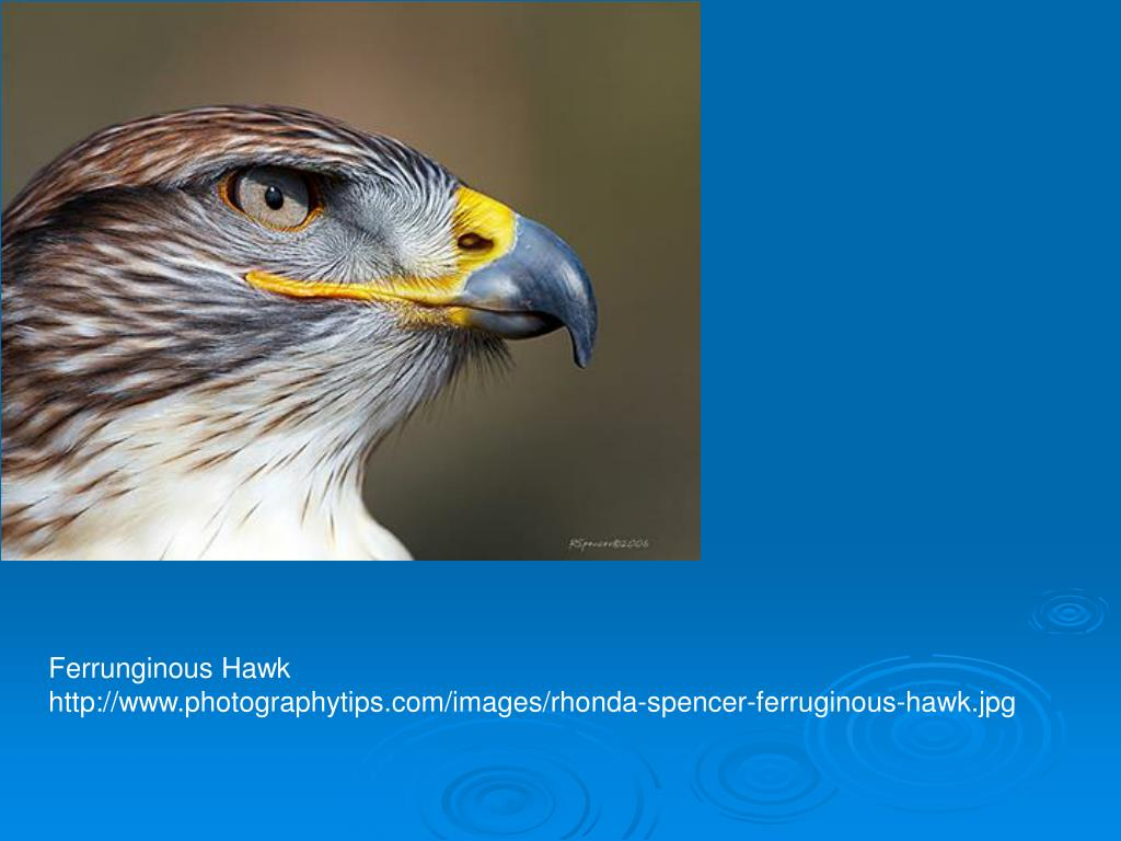 Ferrunginous Hawk