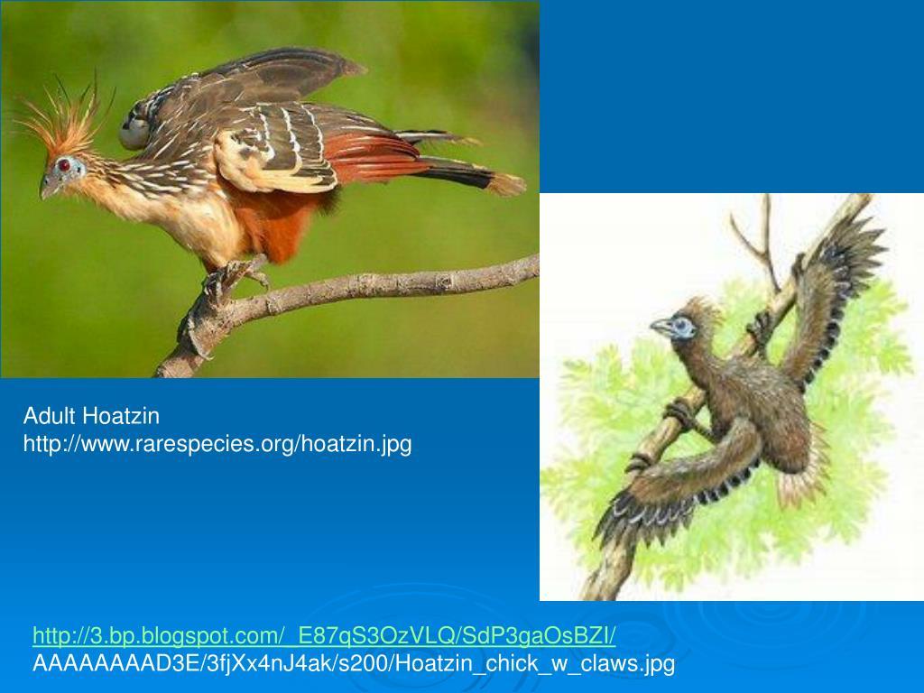 Adult Hoatzin