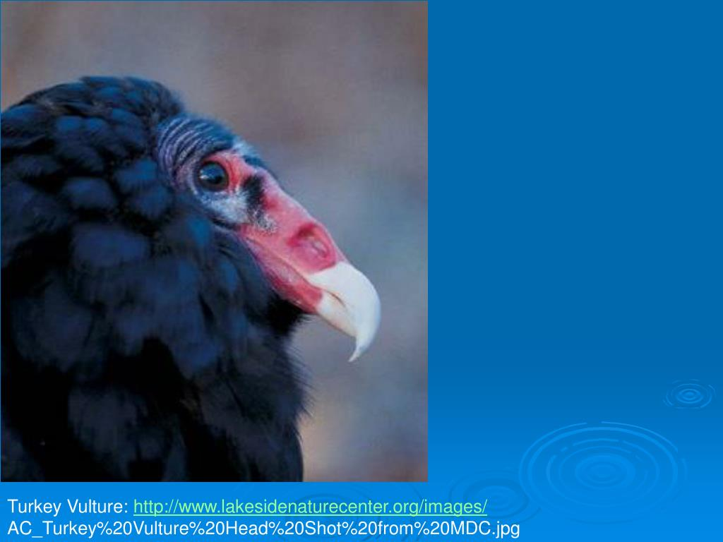 Turkey Vulture: