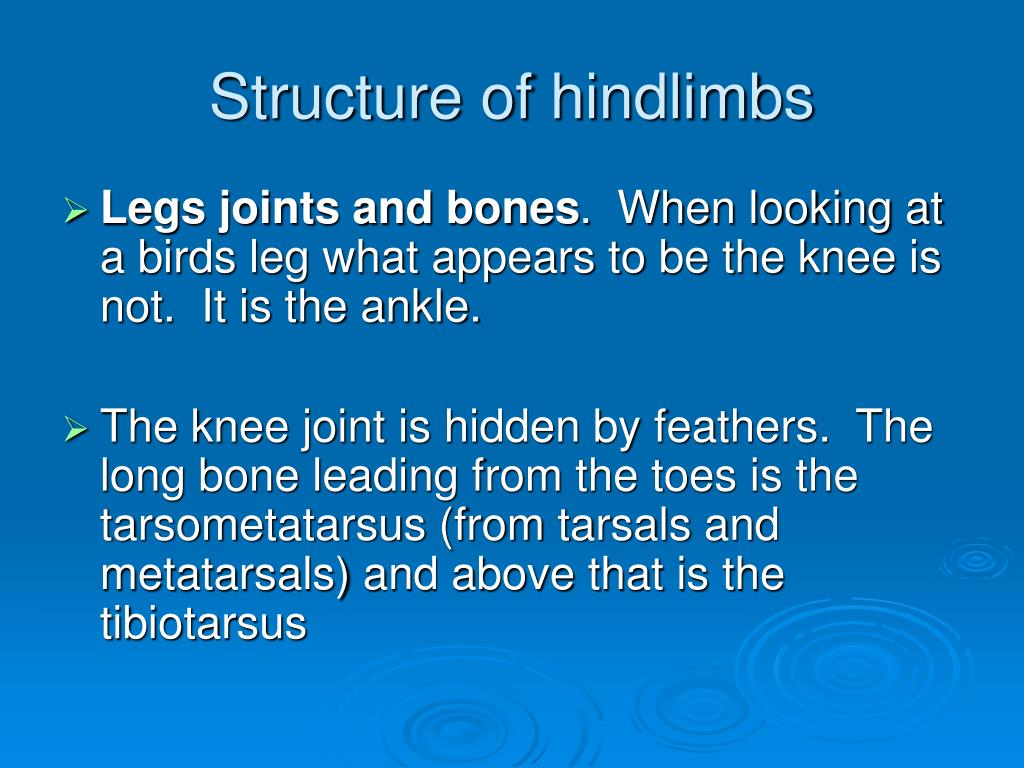 Structure of hindlimbs