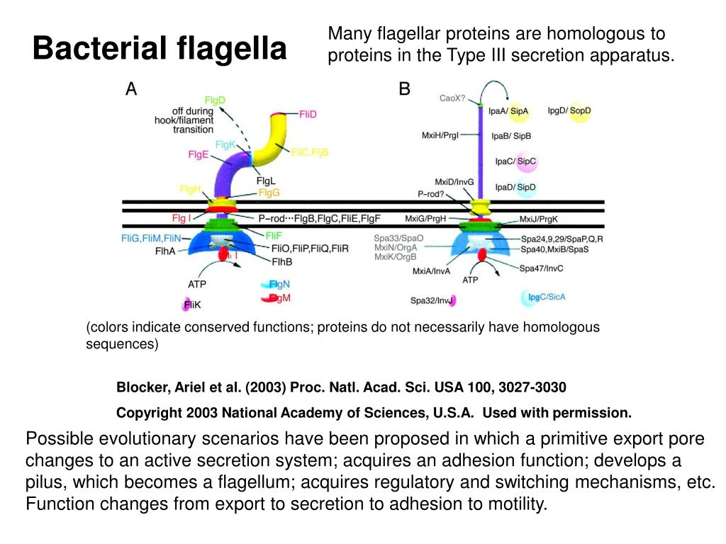 Many flagellar proteins are homologous to proteins in the Type III secretion apparatus.