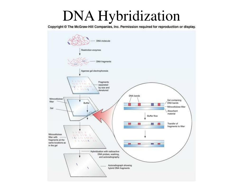 DNA Hybridization
