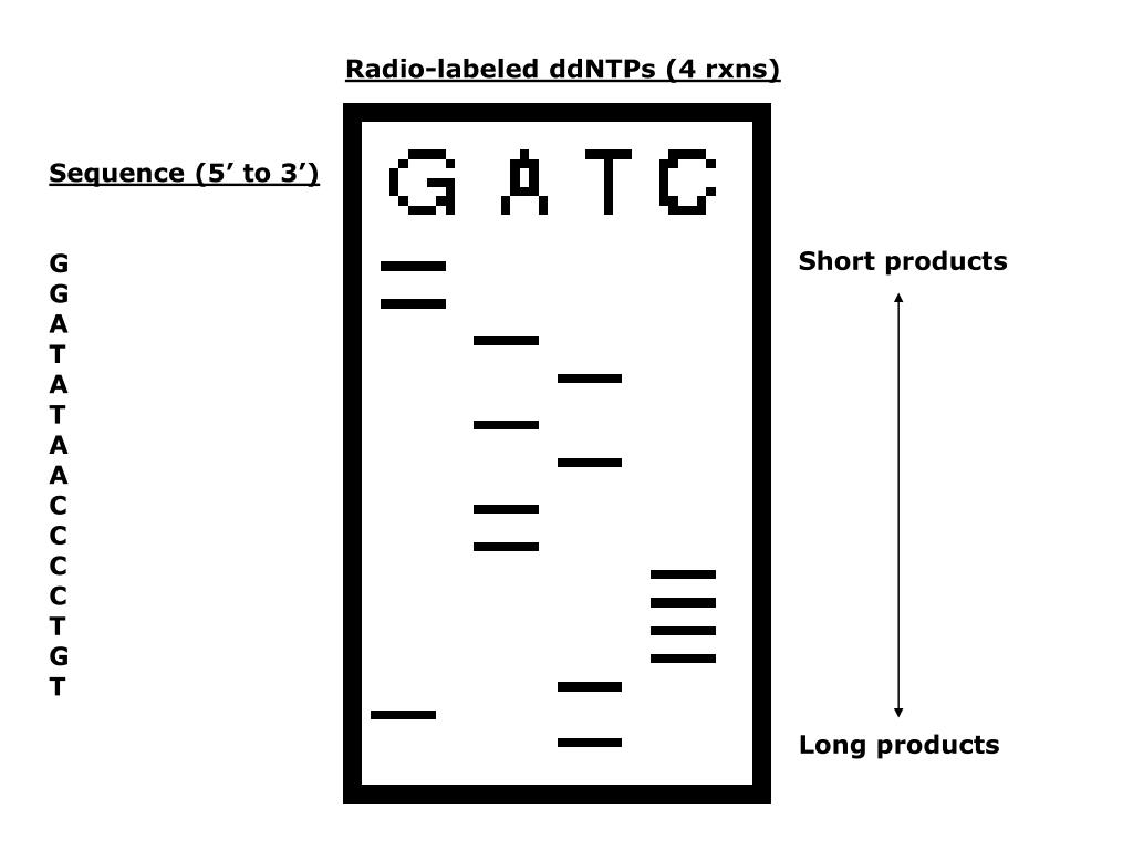 Radio-labeled ddNTPs (4 rxns)