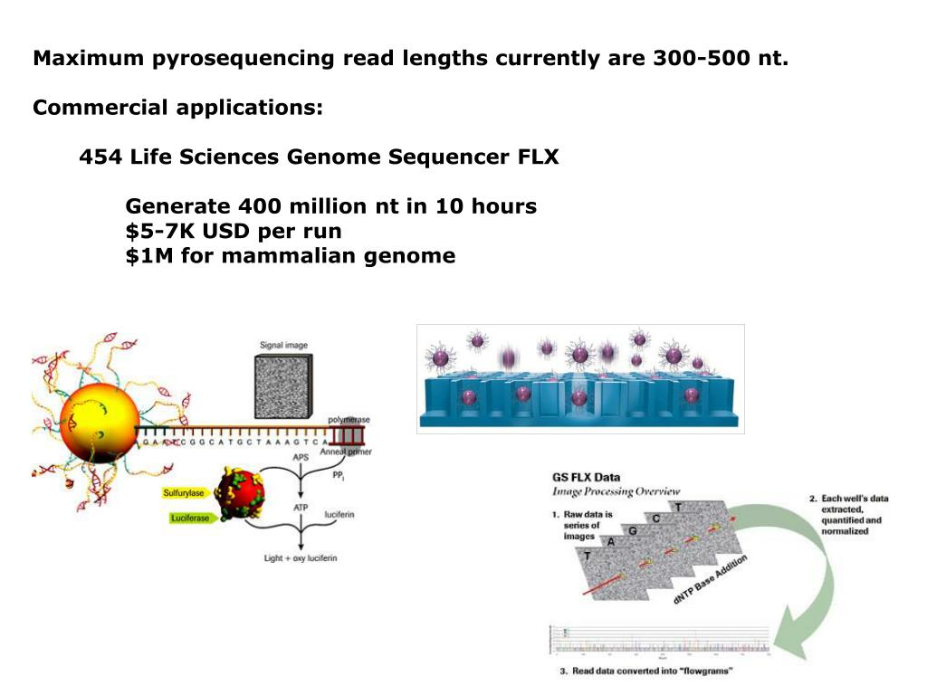 Maximum pyrosequencing read lengths currently are 300-500 nt.