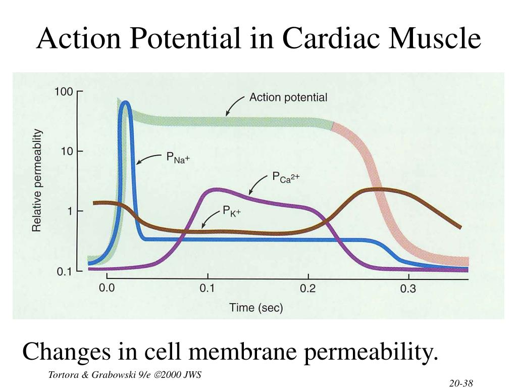 Action Potential in Cardiac Muscle