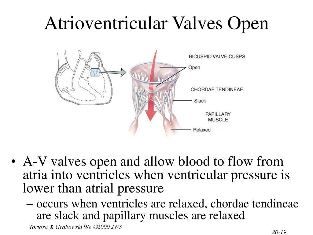 Atrioventricular Valves Open