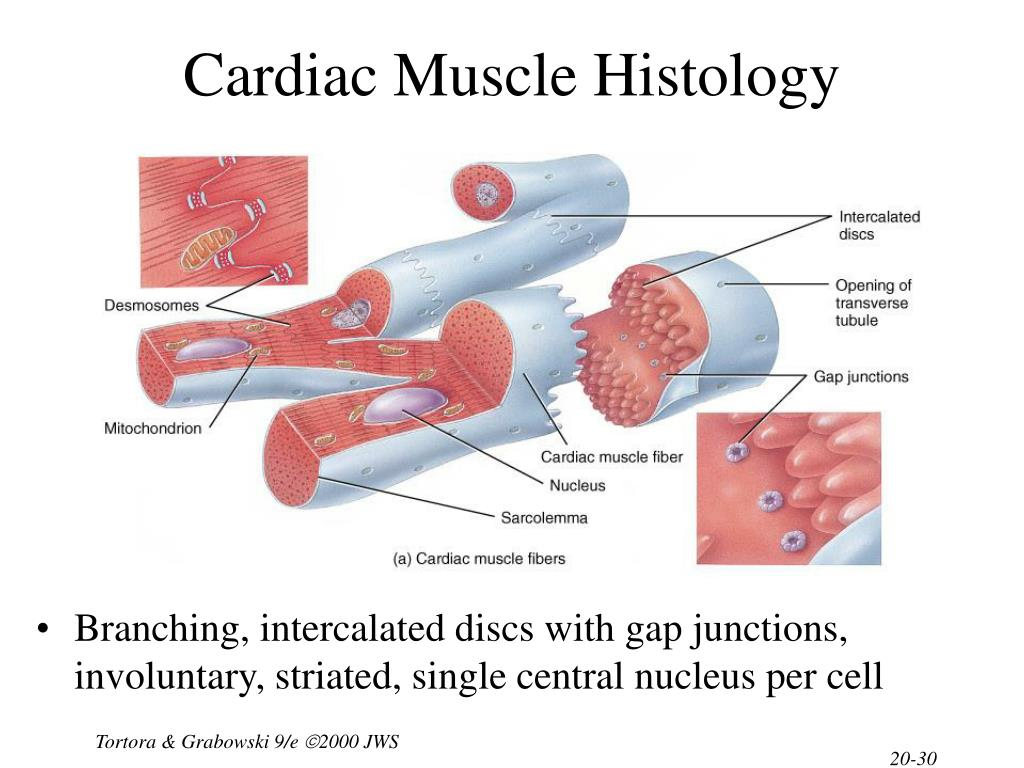 Cardiac Muscle Histology