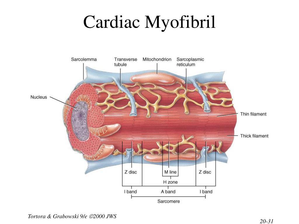 Cardiac Myofibril