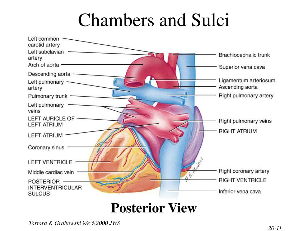 Chambers and Sulci