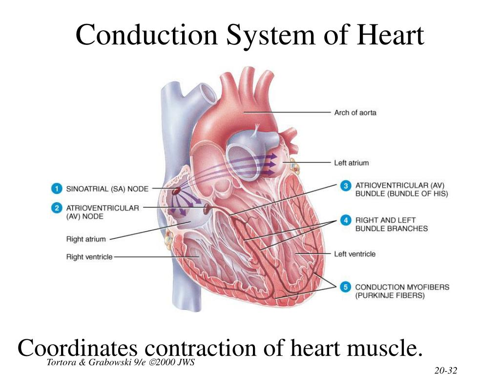 Conduction System of Heart
