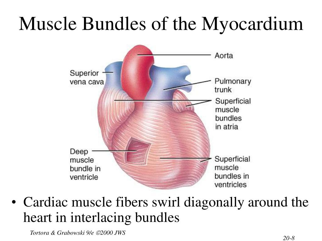 Muscle Bundles of the Myocardium