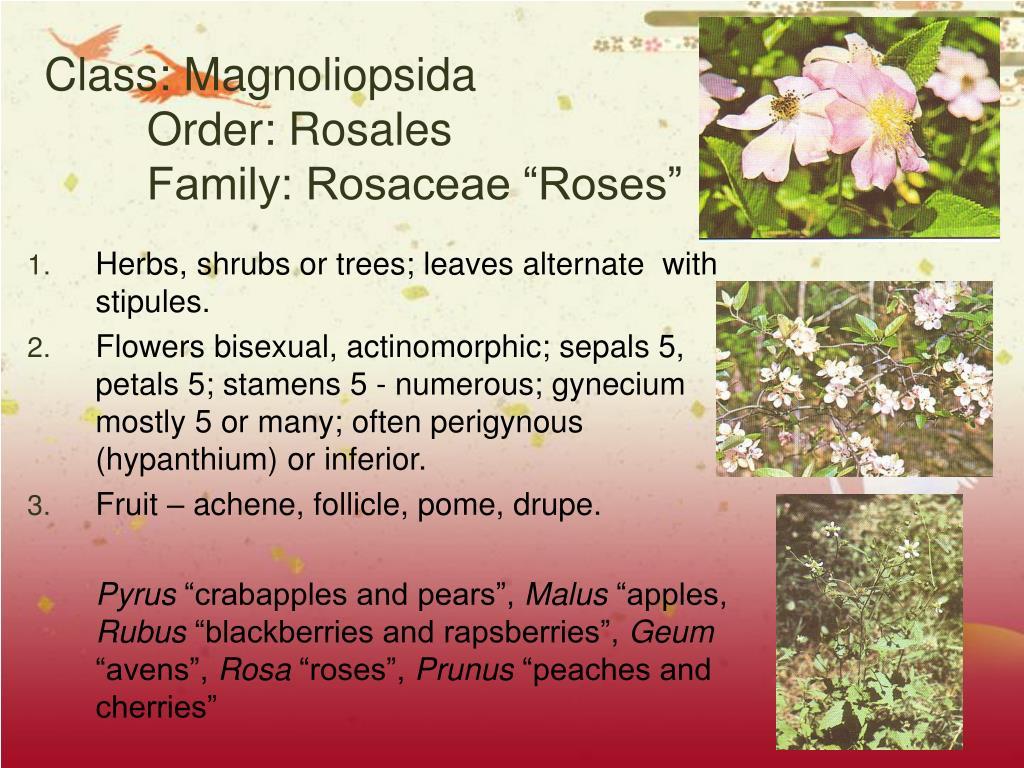 Class: Magnoliopsida
