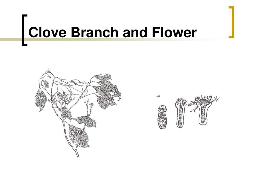 Clove Branch and Flower