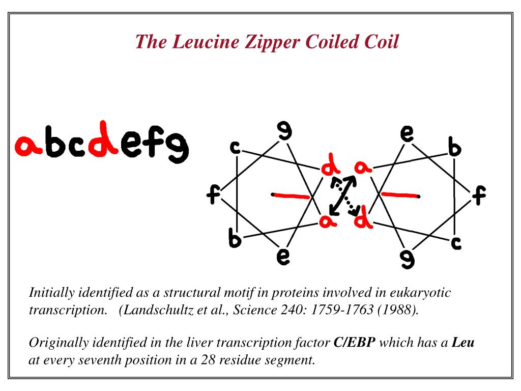 The Leucine Zipper Coiled Coil
