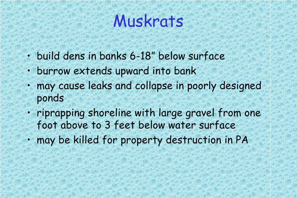 Muskrats