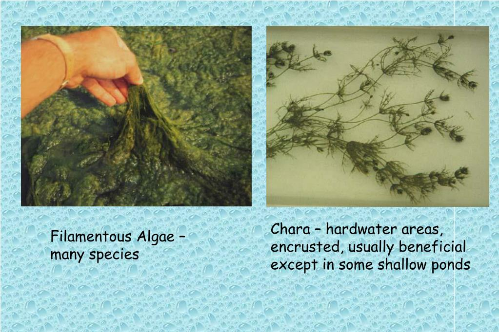 Chara – hardwater areas, encrusted, usually beneficial except in some shallow ponds