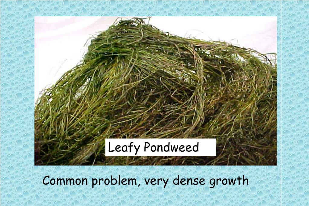 Leafy Pondweed