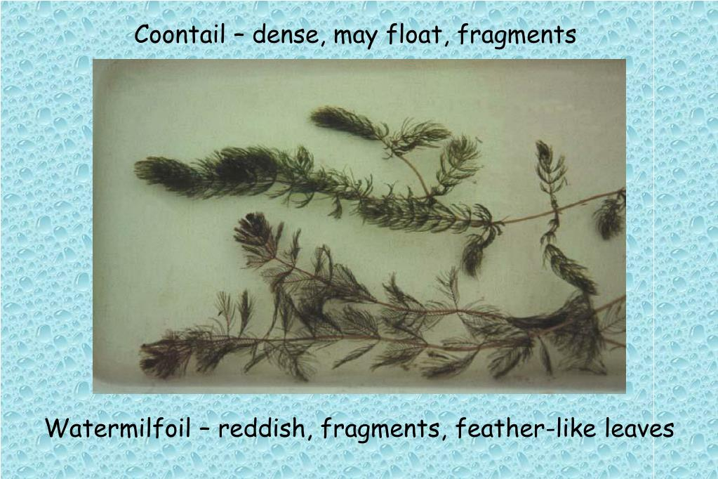 Coontail – dense, may float, fragments