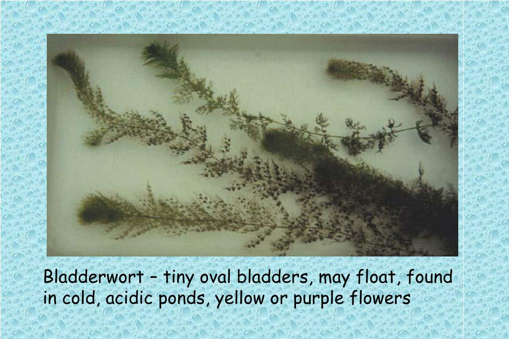 Bladderwort – tiny oval bladders, may float, found in cold, acidic ponds, yellow or purple flowers