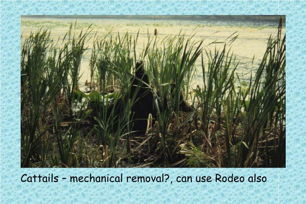 Cattails – mechanical removal?, can use Rodeo also