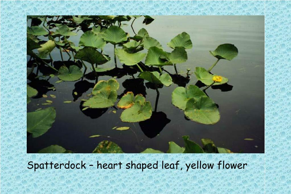 Spatterdock – heart shaped leaf, yellow flower