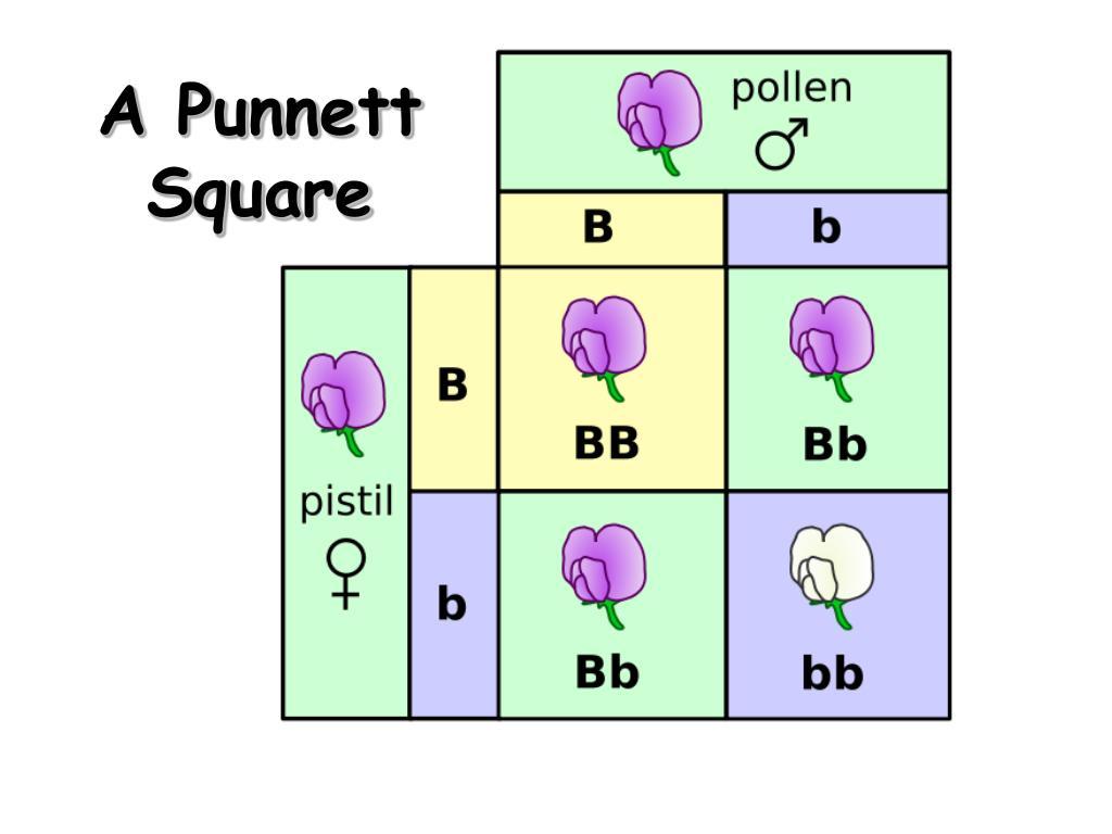 A Punnett Square