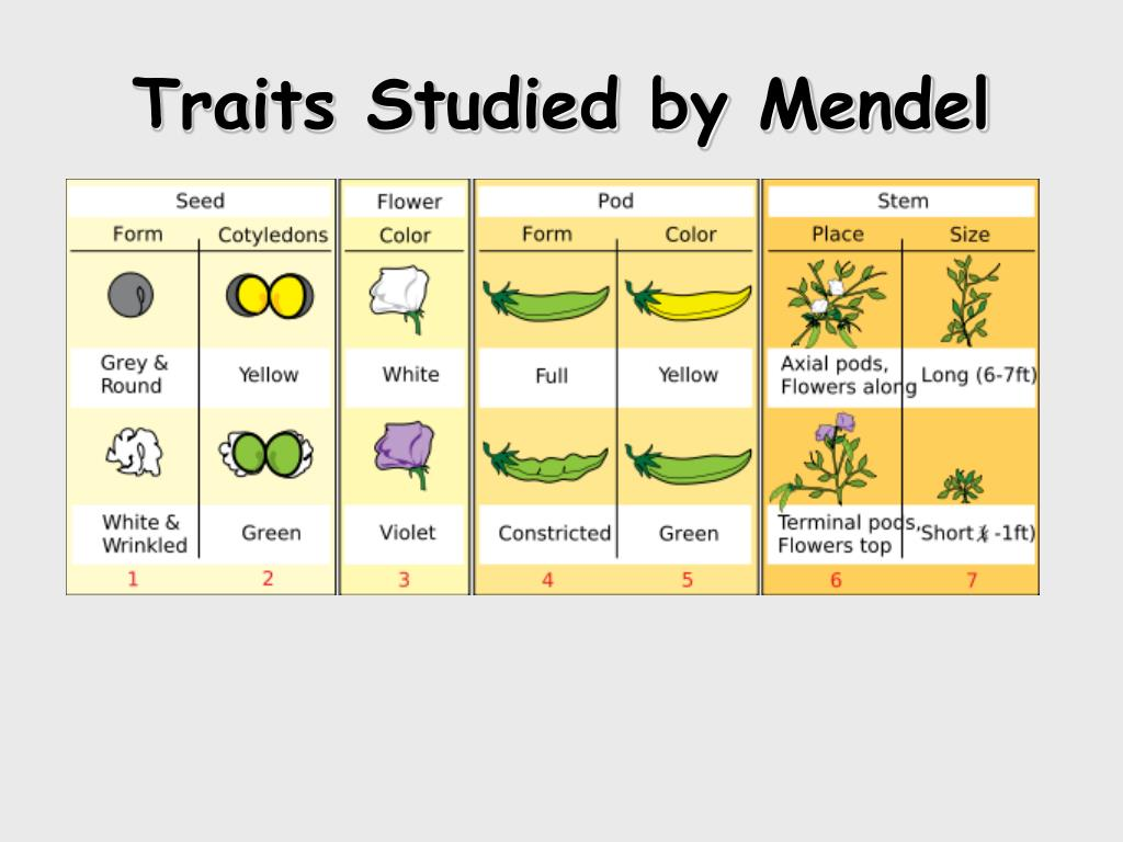Traits Studied by Mendel