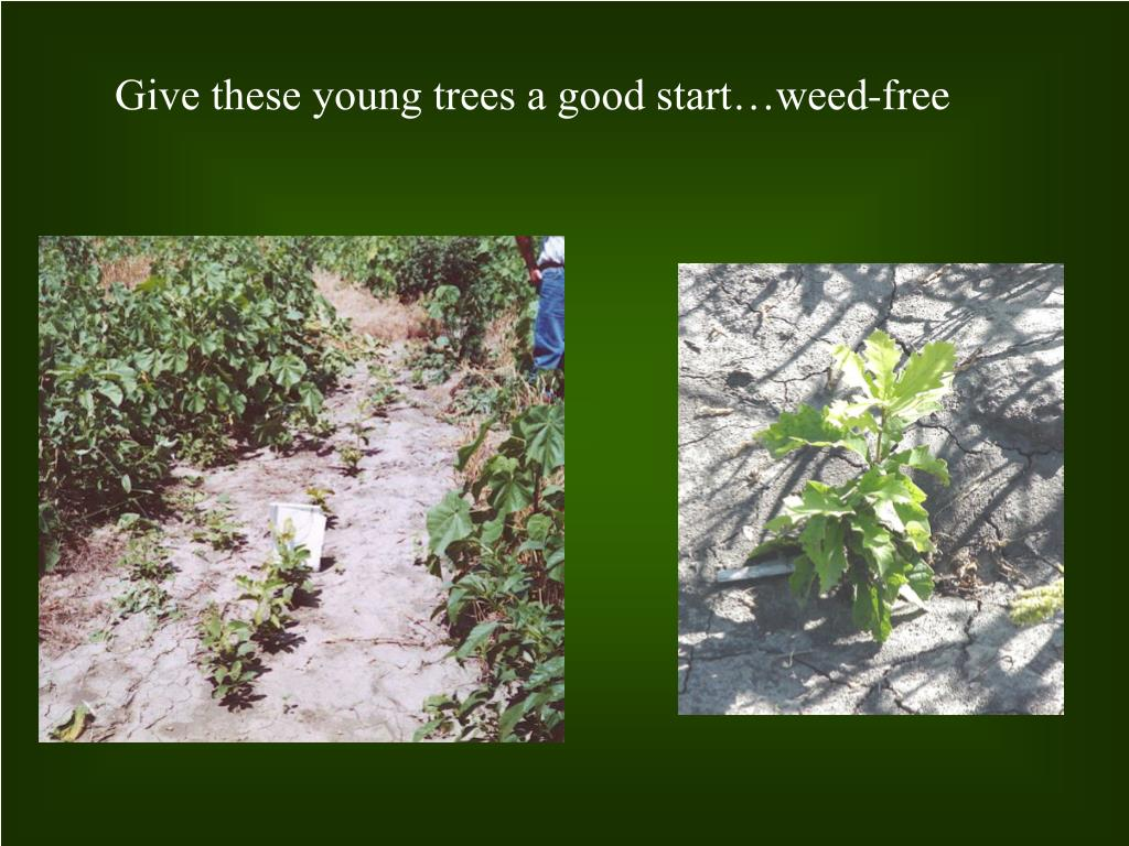 Give these young trees a good start…weed-free