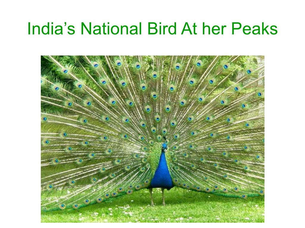 India's National Bird At her Peaks