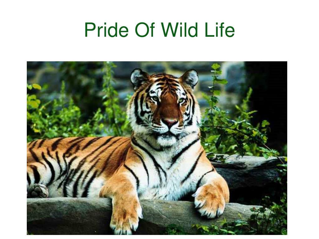 Pride Of Wild Life
