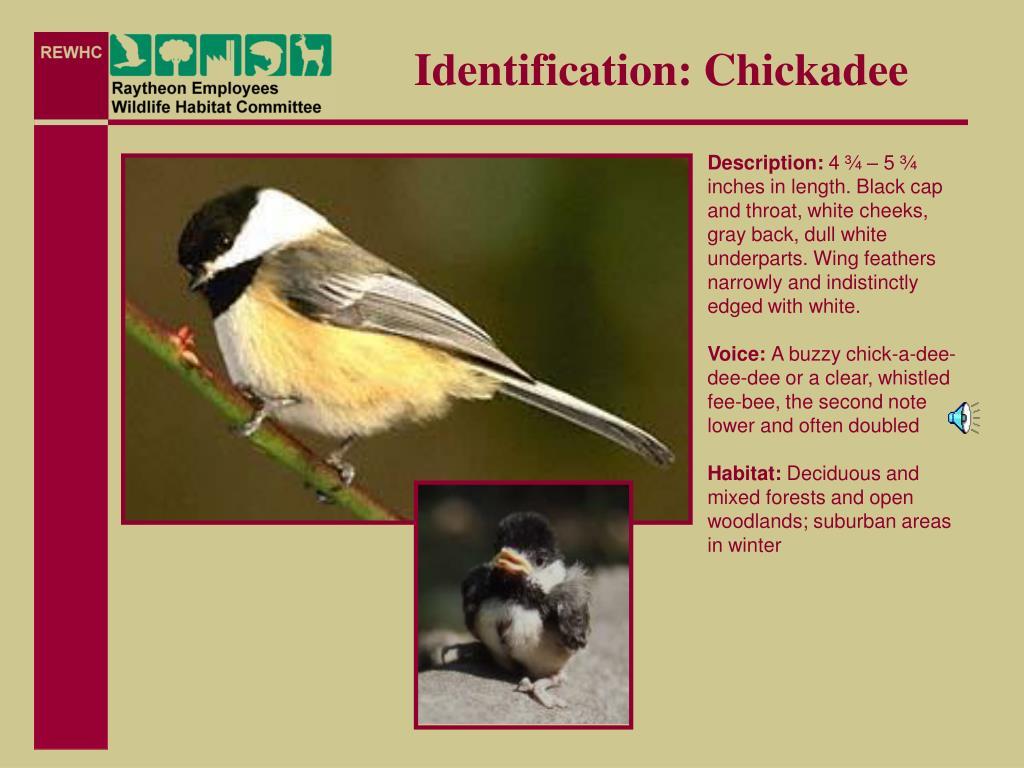 Identification: Chickadee