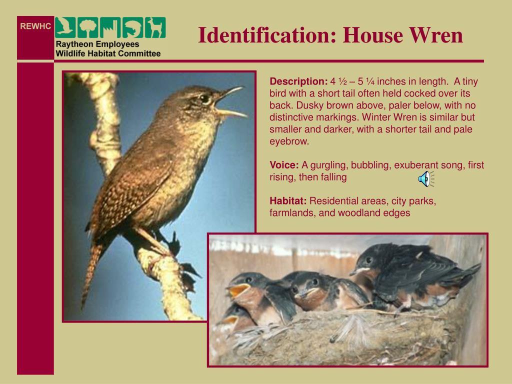 Identification: House Wren